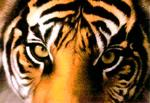 tiger_qc's Avatar
